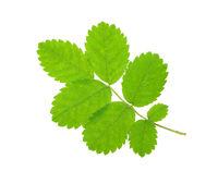Leaf rosehip