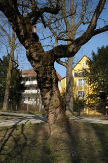 Morus alba, Weisser Maulbeerbaum, White mulberry, großer, alter Baum