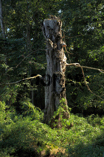 Biotopbaum, Nationalpark Unteres Odertal