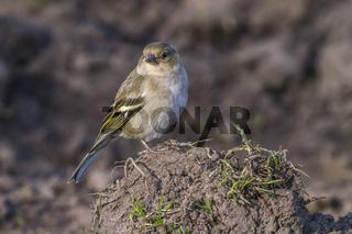 Buchfink (Fringilla coelebs)