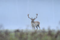 Fallow deer in morning mist, Germany