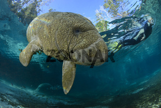Trichechus manatus latirostris, Florida Seekuh und Taucher, West Indian manatee and scuba diver, Three Sisters, Florida, USA