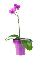 Blooming twig of fuchsia orchid in purple flower pot isolated.