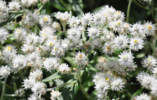 Perlkörbchen (Anaphalis triplinervis) - Pearly everlasting  (Anaphalis triplinervis)
