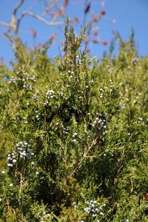 Juniperus virginiana, Virginischer Wacholder