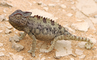 Namaqua-Chamäleon, Namibia, Namaqua chameleon, Chamaeleo namaquensis