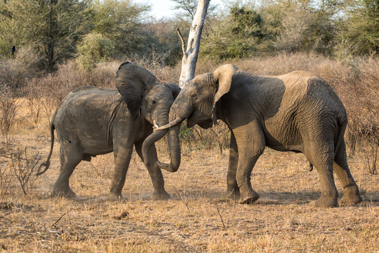 young elephant playing in kruger