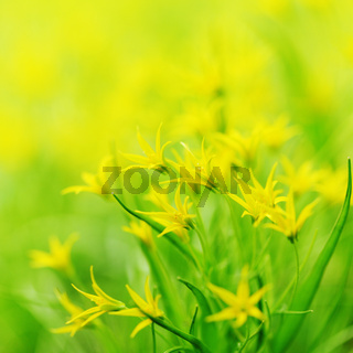 yellow spring flowers macro close up