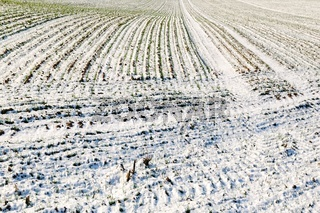 im Winter unter Schnee Acker mit Getreide