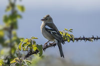 Female chaffinch perched on a thorny bramble branch
