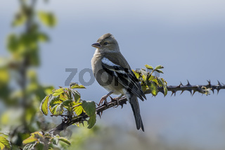 Chaffinch Perched on Bramble