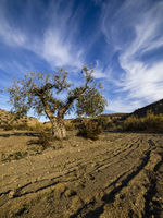 Isolated Tree in the Desert of Tabernas, Spain