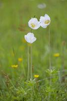 Snowdrop Windflower, Anemone sylvestris