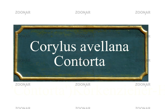 shield Corylus avellana Contorta
