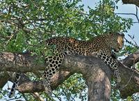 Leopard in Africa