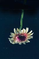 Flower against dark background in the water
