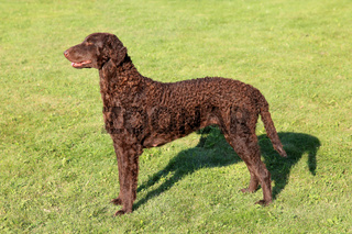 Typical Curly Coated Retriever on a green grass