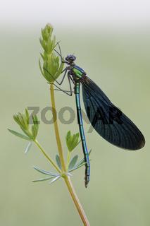 kostbar... Blauflügel-Prachtlibelle *Calopteryx virgo*