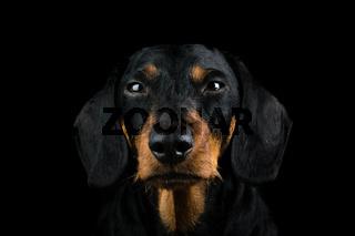 Studio portrait dachshund front