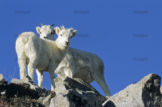 Dall Sheep lambs in front of blue sky