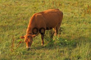 Rinder im Odenwald