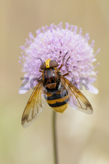 Hornissenschwebfliege, Volucella zonaria, Hornet Mimic Hoverfly