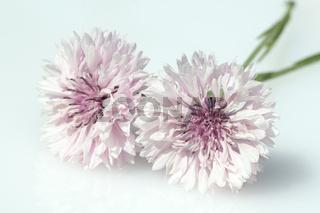 Kornblume; Centaurea; cyanus; Ackerpflanzen;