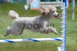 Miniature Poodle at Dog Agility Trial