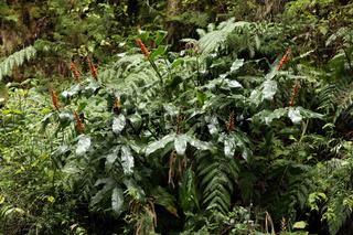 Hedychium gardnerianum, Schmetterlings-Ingwer, Azoren