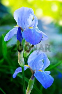 Blue Iris flowers in the garden.