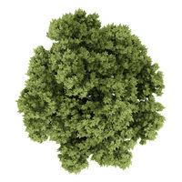 top view of austrian oak tree isolated on white background