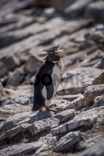 Rockhopper penguin looking at camera among rocks