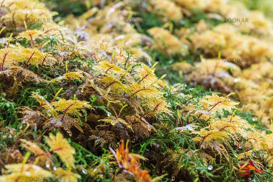 Moss at Olympic National Park Washington USA