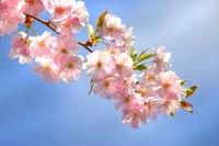 Almond Blossom, Pfälzer Mandelpfad