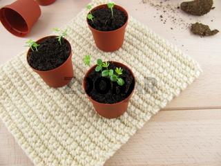 Kleine Mimosen-Pflaenzchen