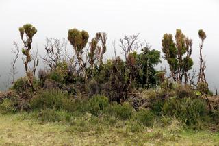 Baumheide, Erica azorica, azores heather, Azores