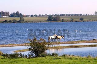 Pferde in der Wismarer Bucht