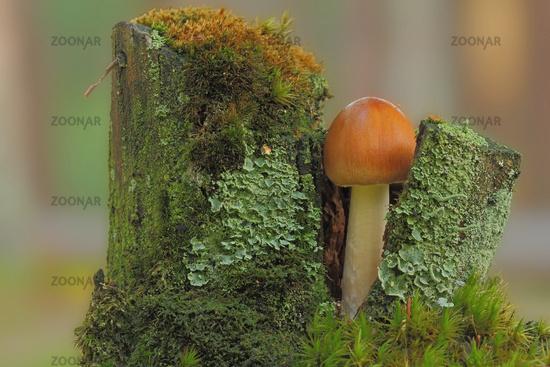Mushroom in the tree stump