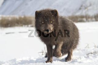 Commander's blue arctic fox that stands in the snow with a raised paw