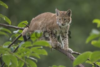 Klettermaxe... Eurasischer Luchs *Lynx lynx*