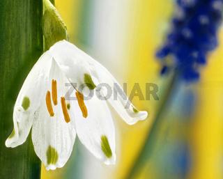 Maerzenbecher weiße Bluete