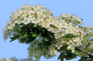 Wayfaring tree, Viburnum lantana, Wolliger Schneeball