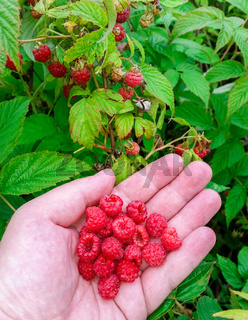 Man Holding Freshly Picked Raspberries