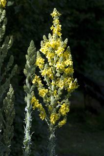 Grossbluetigen, Koenigskerze; Verbascum, densiflorum; heilpflanze