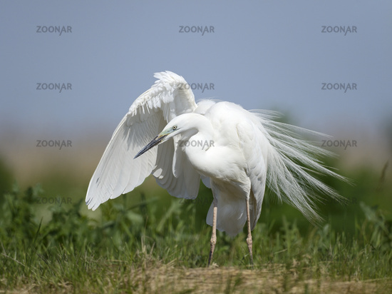 Great egret, Adrea Alba