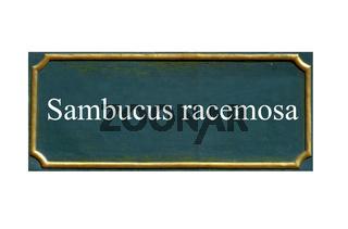 schild, Traubenholunder ,roter holunder Sambucus racemosa