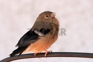 Dompfaff_Jungvogel