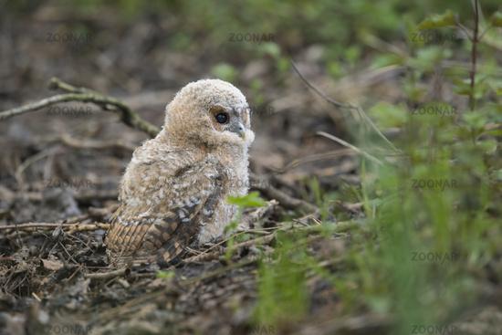 so cute... Tawny Owl *Strix aluco*