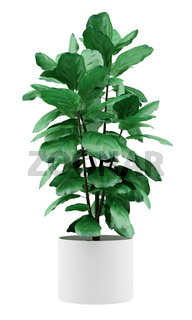 potted ficus plant isolated on white background