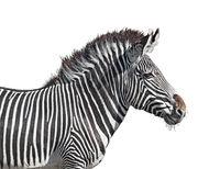 Grevy's zebra close-up cutout